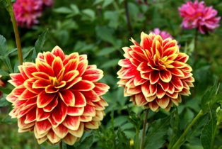 георгин,цветы георгины,георгин кабальеро,фото георгин