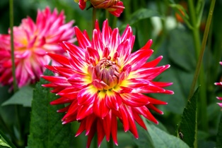 георгин,фото георгин, цветы георгины