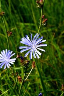 цветы цикория,фото цикория