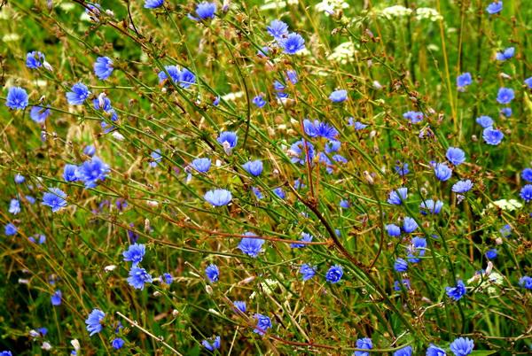 фото цветов цикория