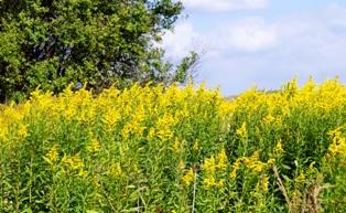 фото золотарника,цветы бабье лето