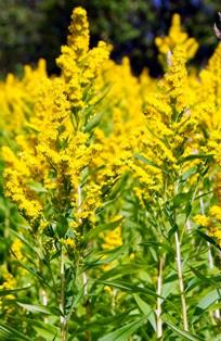 золотарник,фото золотарника,цветы бабье лето