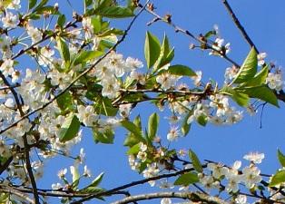 цветы вишни, изображения цветов, каталог цветов