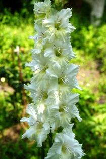 гладиолус, фото гладиолусов,гладиолус белая береза