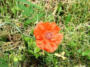 фото цветка мака