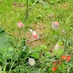 садовый мак,фото мака