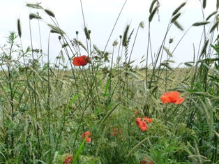 цветы мака,фото цветов мака
