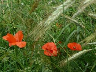 цветы мака,фото мака
