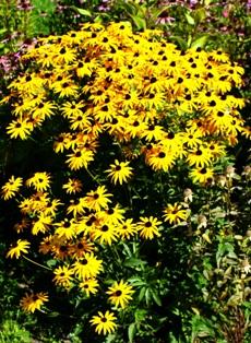 рудбекия,фото рудбекии,цветы рудбекии
