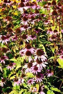 эхинацея,фото эхинацеи,цветы эхинацеи