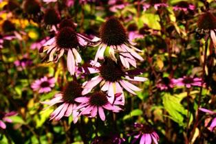фото эхинацеи,цветы эхинацеи