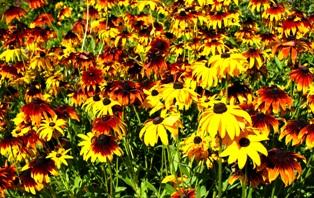 цветы рудбекии,фото рудбекии