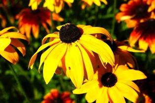 цветы рудбекии