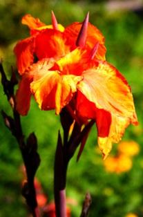 фото канны,цветы канны