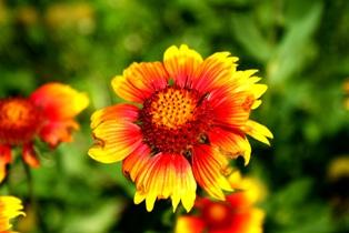 цветы гайлардии,фото гайлардии