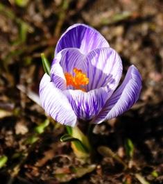 крокус,первоцветы,весенние цветы,фото первоцветов