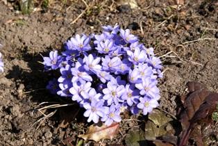 первоцветы,весенние цветы,фото первоцветов,печеночница