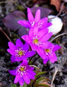 Печоночница розовая