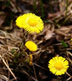 первоцветы,фото первоцветов,весенние цветы,мать и мачеха