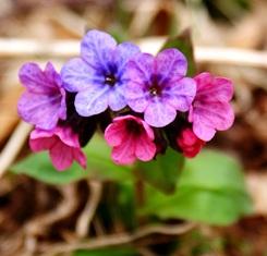 медуница,первоцветы,весенние цветы,фото первоцветов