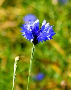 василек,цветок василек,василек синий