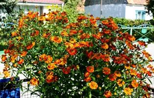 цветы гелениума,фото гелениума