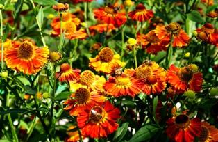 гелениум,цветы гелениума,фото гелениума