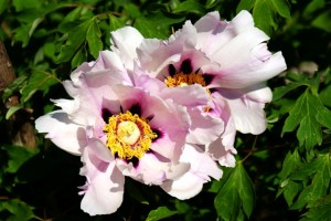 фото пиона древовидного,цветок пиона древовидного