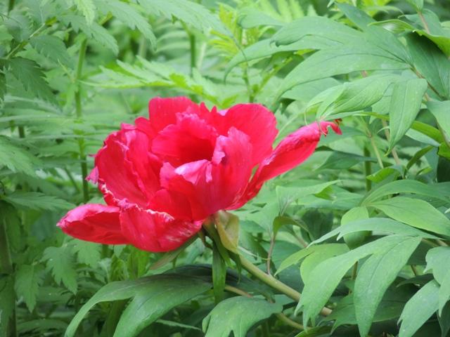 фото древовидного пиона, цветок древовидного пиона