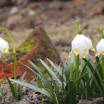 цветы белоцветника