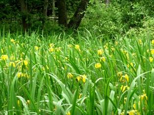цветы ириса аировидного,фото ириса аировидного