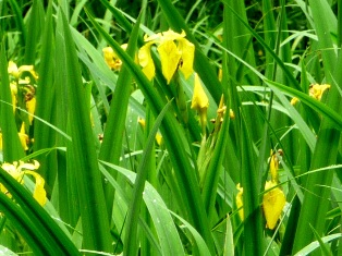 ирис аировидный,цветы ириса аировидного,фото ириса аировидного
