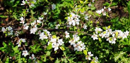 войлочная вишня,фото войлочной вишни