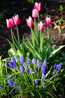 тюльпаны,фото тюльпанов