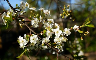 цветы вишни,фото цветов вишни