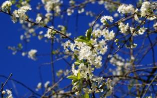 вишня,цветы вишни,фото цветов вишни