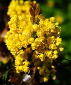 магония фото магонии,цветы магонии