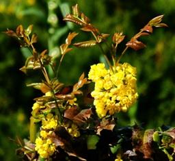 цветы магонии