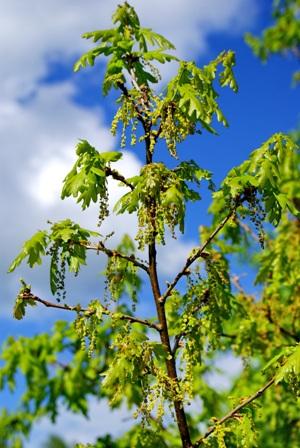 фото цветов дуба