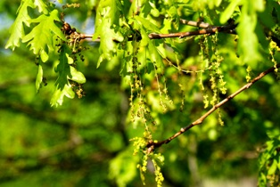 цветы дуба,дуб,фото цветов дуба