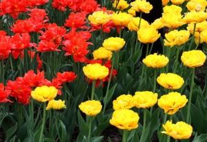 фото тюльпанов
