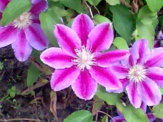 клематис,цветы клематисов,клематис Андромеда