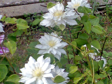 клематис,цветы клематисов,клематис Королева Арктики