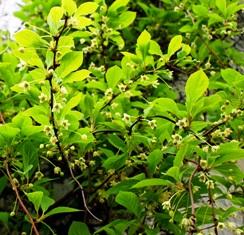 цветы лимонника,лимонник китайский,фото лимонника