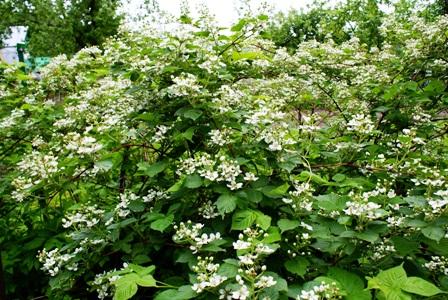 цветы ежевики садовой,фото ежевики садовой