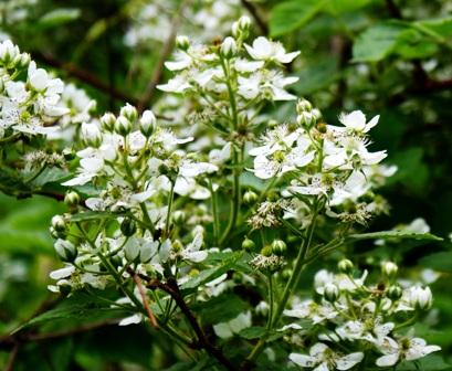 цветы ежевики садовой,фото цветов ежевики садовой