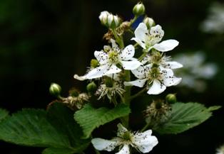 ежевика садовая,цветы ежевики садовой,фото цветов ежевики садовой