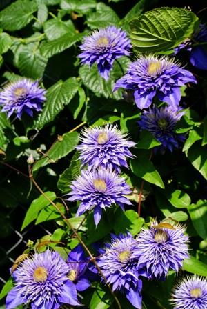 клематис,цветы клематисов,клематис Мулти Блу