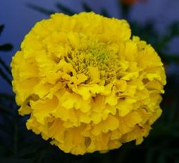 бархатцы,цветы бархатцев,фото бархатцев