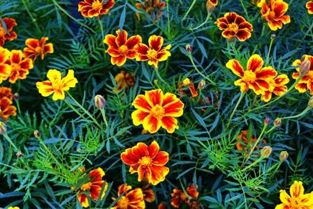 цветы бархатцев,фото бархатцев